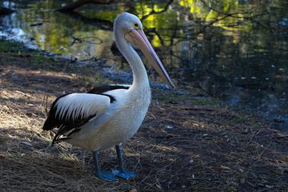 Pelican4.jpg