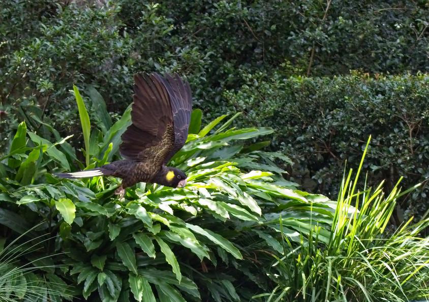 Black Cockatoo.jpg