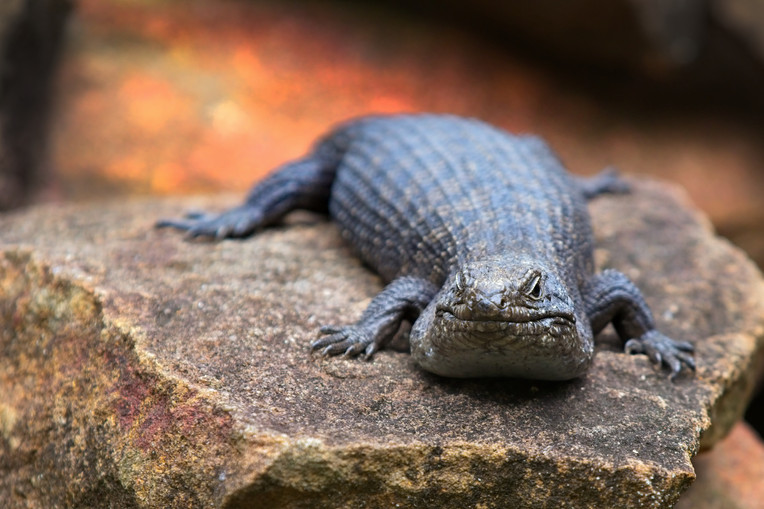 Spiny Tailed Skink