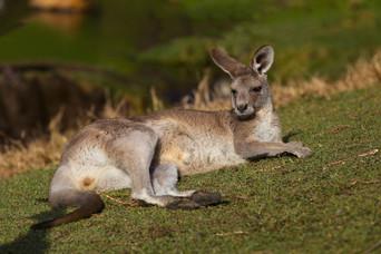 Kangaroo3.jpg