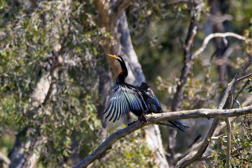 Australiasian Darter
