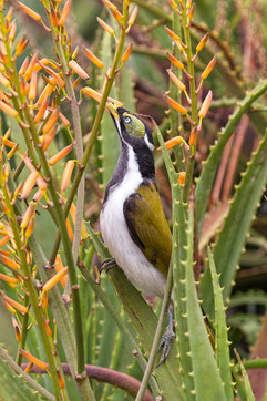 Blue Faced Honeyeater: Juvenile