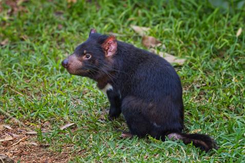 Tasmanian Devil3.jpg