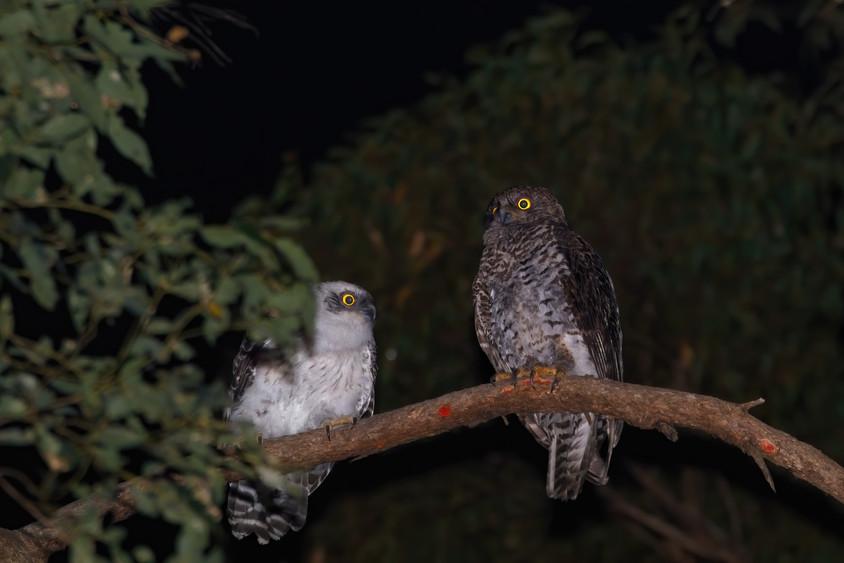 Powerful Owl & Chick