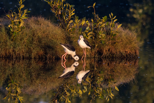 White-Headed Stilts