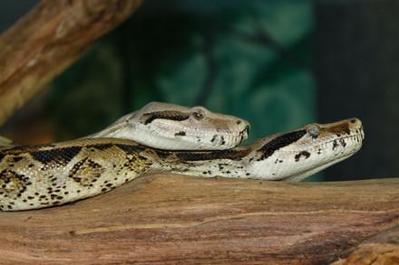 Carpet Snakes