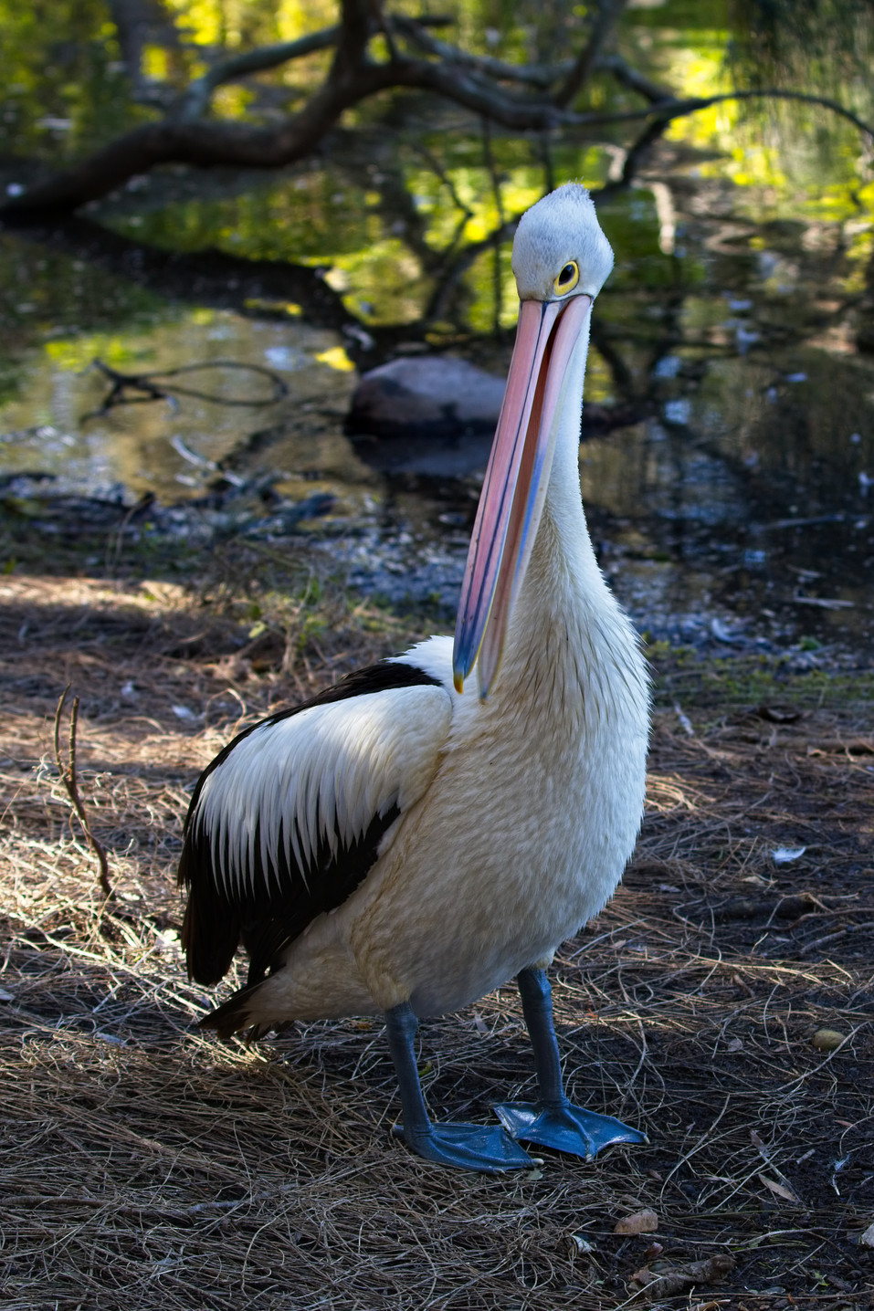 Pelican3.jpg