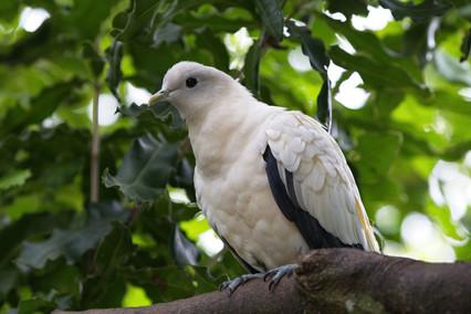 Pied Pigeon
