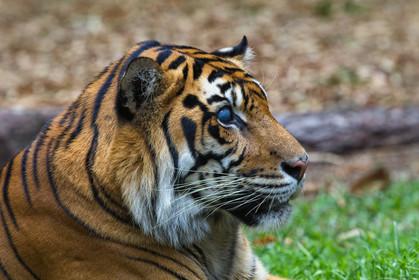 Hunter - Australia Zoo's blind Tiger