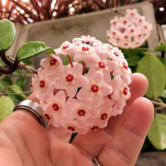 Flor de cera - Trepadeira
