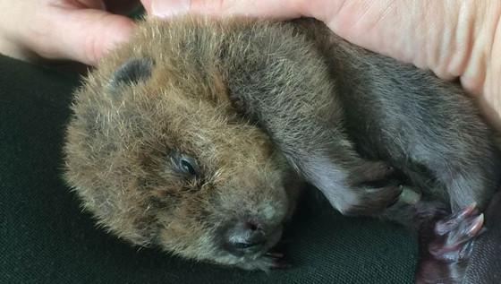 ZooMontana baby beaver Shiloh doing well