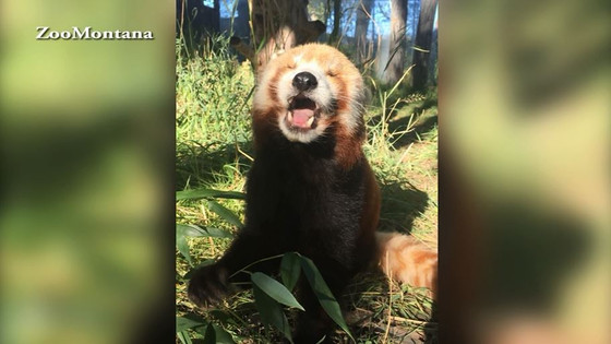 ZooMontana red panda oldest living in North America