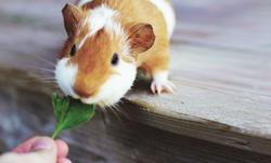 Feeding Guinea Pig_edited.png