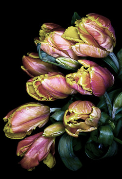 Parrot Tulips Blush
