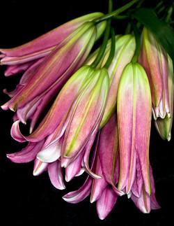 Lillies: Rose