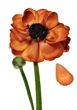 Ranunculus: Queen with teardrop