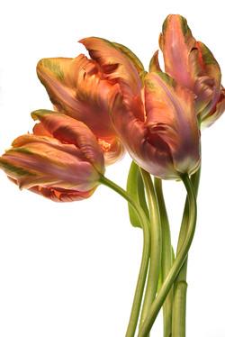 Tulips in Daylight