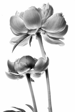 Peonies in Black and White