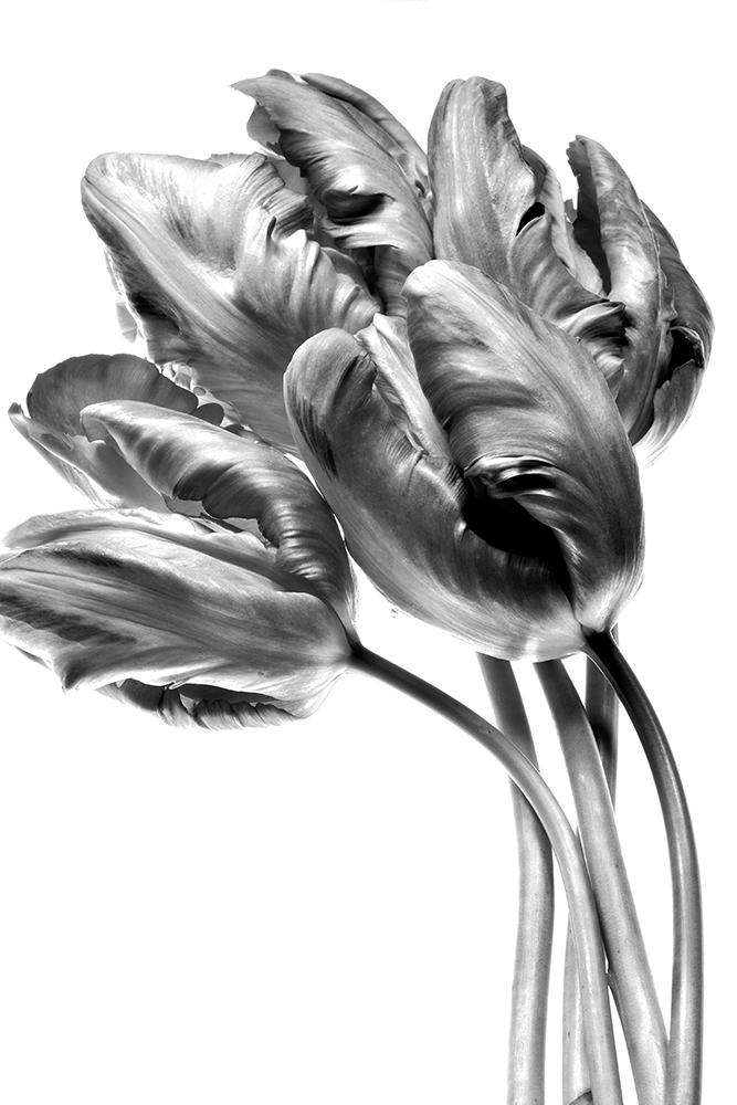 Parrot Tulips: Sun-Lit