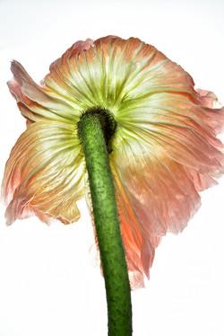 Bashful Poppy: Blush