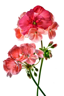 Geranium with Begonia Face