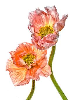 Pink & Orange Poppy