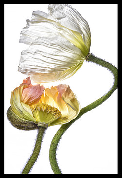Poppy White and Color