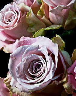 Roses First Blush