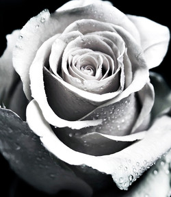 Bold Face of a Rose
