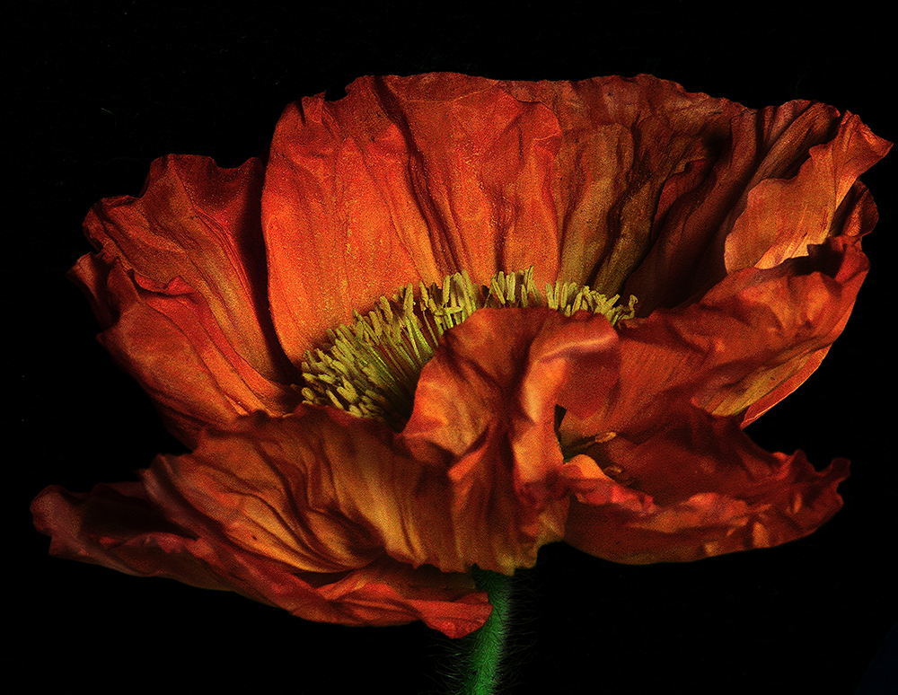Red Poppy in the Dark