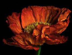 Red Poppy in the Dark