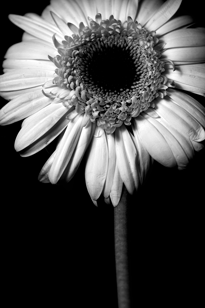Gerber Daisy - Black and White