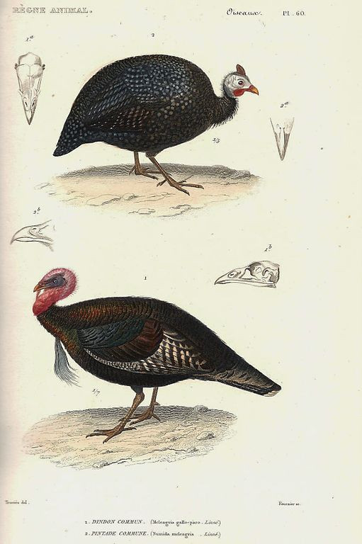 Wikimedia Commons. Cuvier, Pintade et dinde sauvage