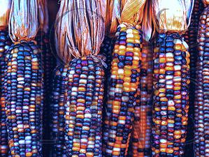Le maïs, consommé depuis plus de 7 000 ans au mexique, tente de conserver sa pureté