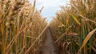 SH7 Wheat Rows