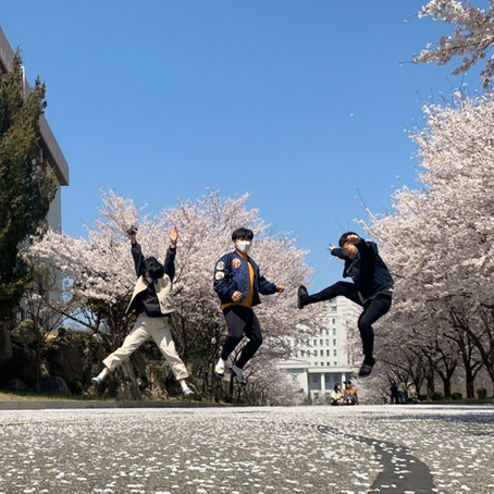 Cherry Blossom festival at KyungHee Land