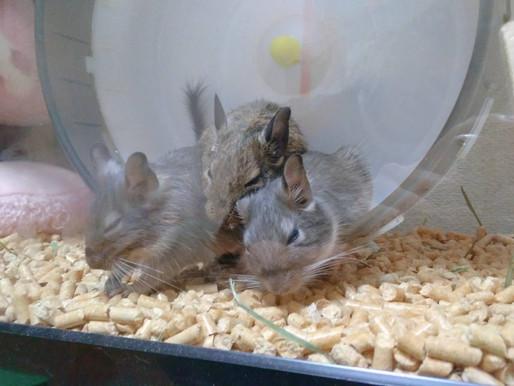 ネズミじゃないよ、デグーだよ!