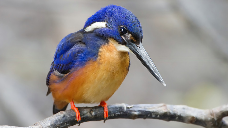 Common King Fishers
