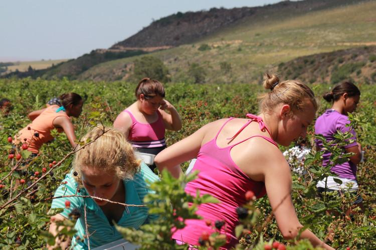 Kids picking berries