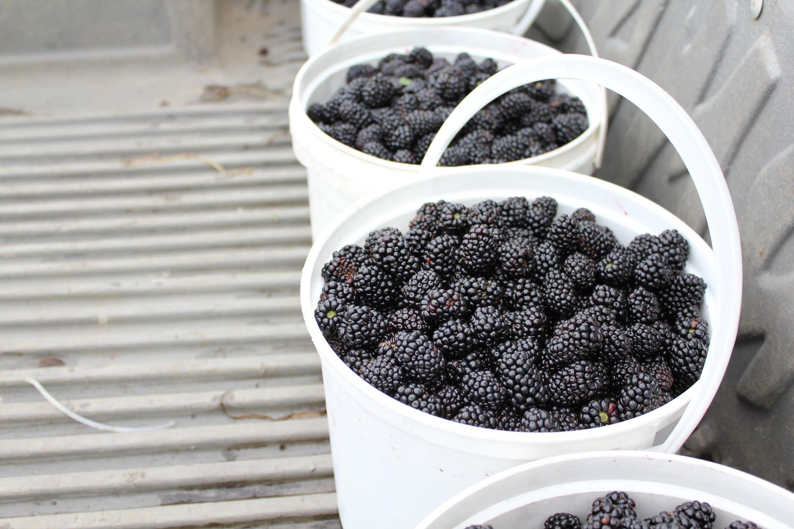 Beautiful blackberries