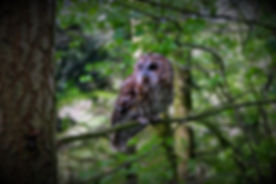 Tawny Owl 146.jpg
