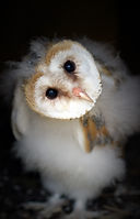 Barn Owl Chick Twist Head 1.jpg