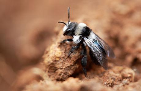 Ashy Mining Bee (3).jpg