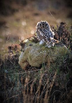 Short-eared Owl 208C2676.jpg