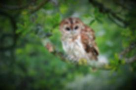 Tawny Owl 208C6417.jpg