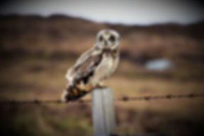 Short-eared Owl DSC_8604.JPG