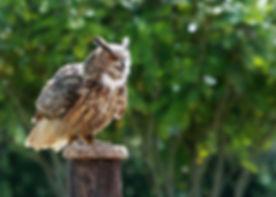 European Eagle Owl 208C0127jesses.jpg