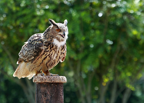 European Eagle Owl 208C0127jesses.jpg
