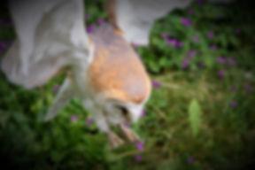 Barn Owl Hunting 228.jpg