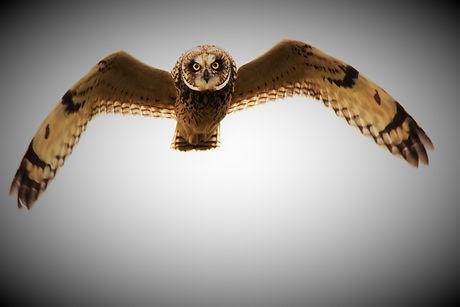 Short-eared Owl DSC_1766.JPG
